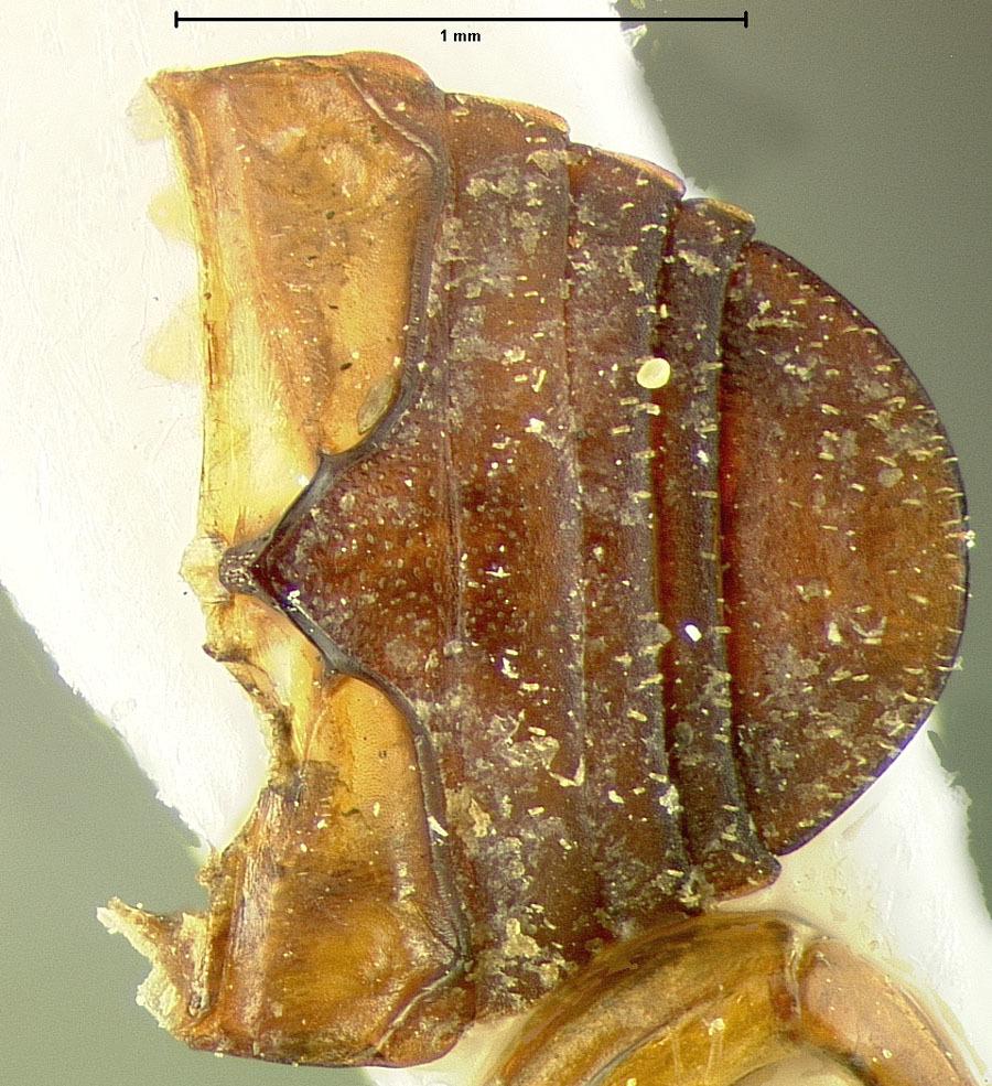 Image of <i>Curimopsis moosilauke</i> Johnson 1986