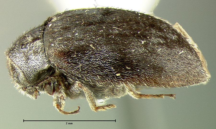 Image of <i>Pedilophorus subcanus</i> Le Conte & J L 1878