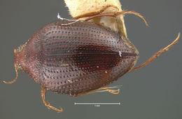 Image of <i>Haliplus concolor</i> Le Conte 1852