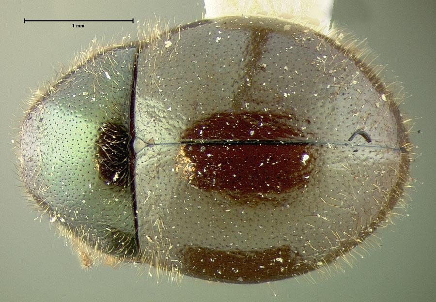 Image of <i>Simplocaria inflata</i> Leconte 1868