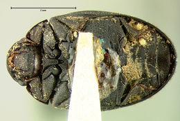 Image of <i><i>Nosodendron</i></i> (Nosodendron) <i>californicum</i> Horn 1874