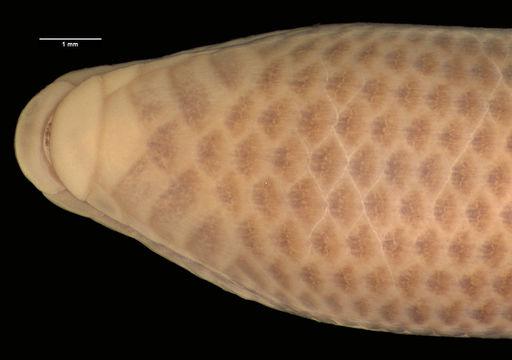 Image of Rondo limbless skink