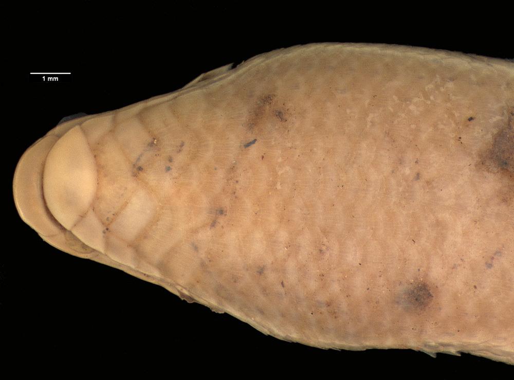 Image of <i>Melanoseps ater</i> ssp. <i>misukuensis</i>