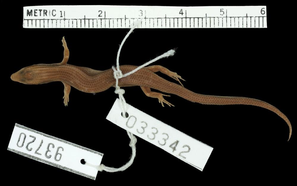 Image of Pygmy Supple Skink