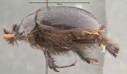 Image of <i>Pleocoma rickseckeri</i> Horn 1888
