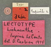 Image of <i>Lichnanthe lupina</i> Le Conte 1856