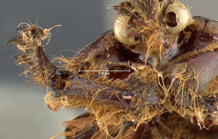 Image of <i>Pleocoma fimbriata</i> Le Conte 1856