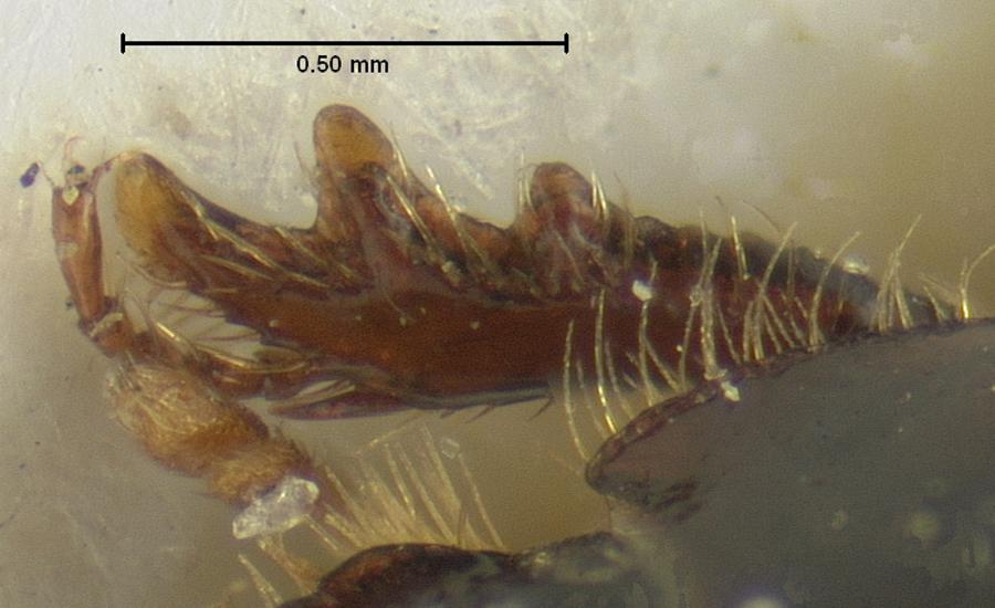 Image of <i>Aegialia blanchardi</i> Horn 1887