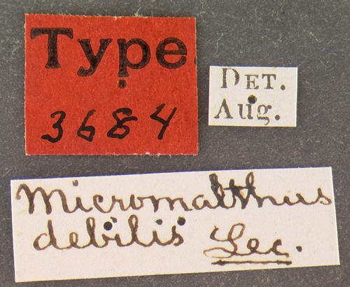 Image of telephone-pole beetle