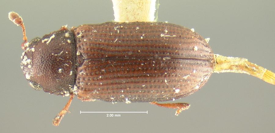 Image of <i>Odontosphindus denticollis</i> Le Conte 1878