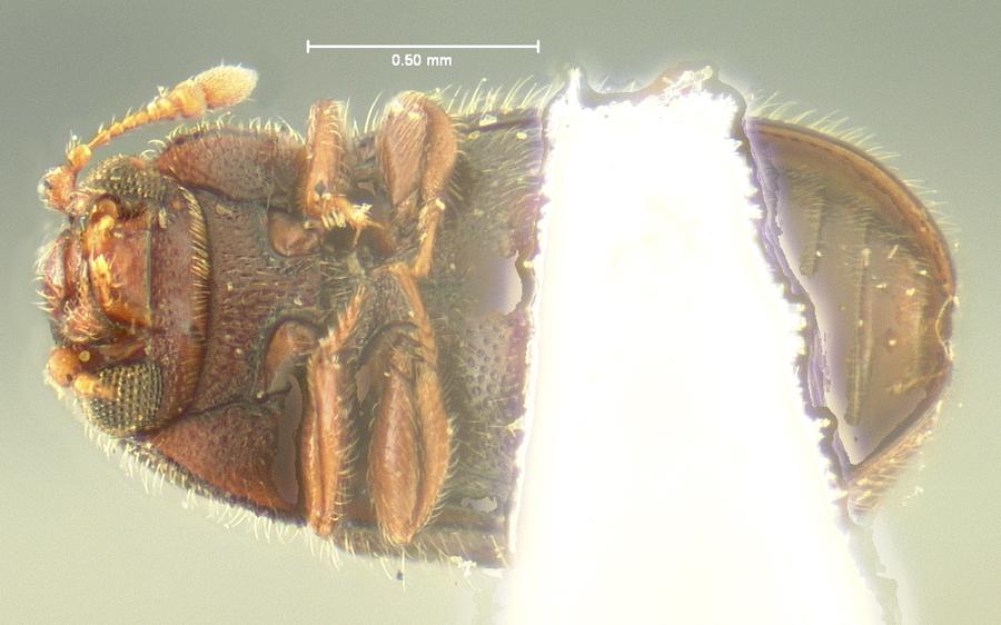Image of <i>Sphindus americanus</i> Le Conte 1866