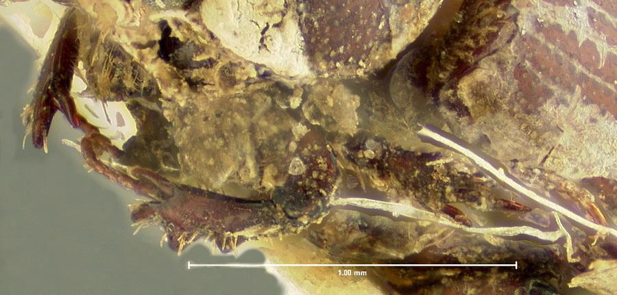 Image of <i>Ataenius puncticollis</i> LeConte 1858