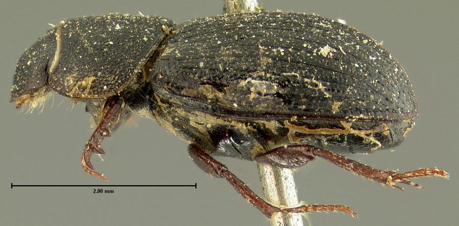 Image of <i>Ataenius robustus</i> Horn 1871
