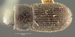 Image of <i>Ataenius hirsutus</i> Horn 1871
