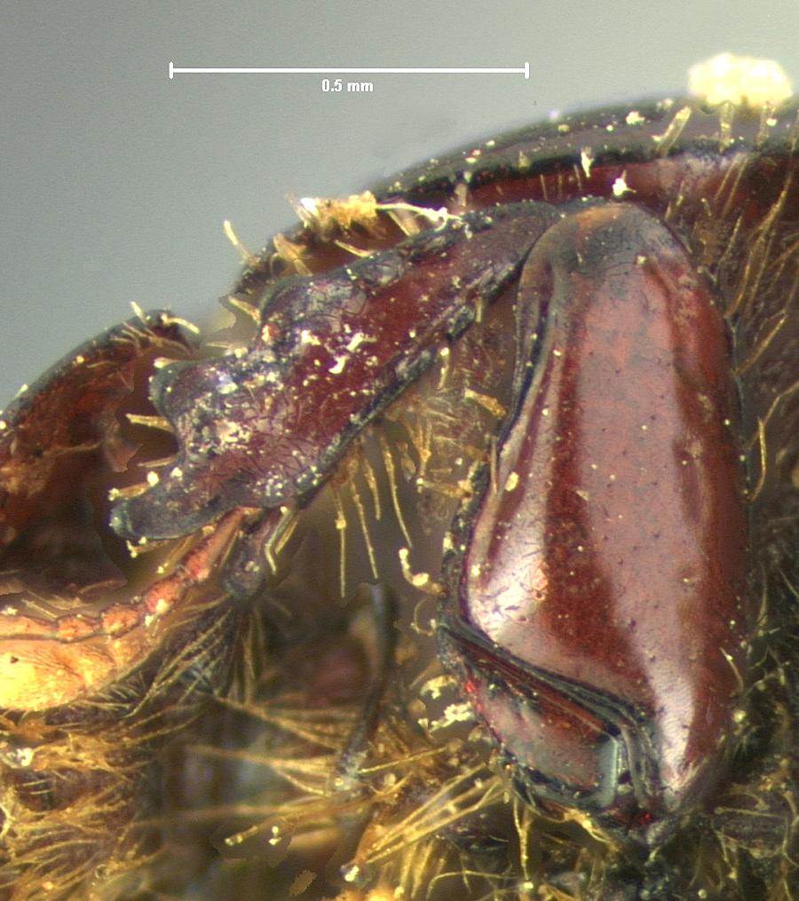 Image of <i>Ataenius lobatus</i> Horn 1871