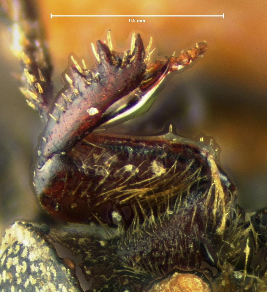 Image of <i>Ataenius ovatulus</i> Horn 1871