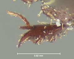 Image of <i>Ataenius desertus</i> Horn 1871