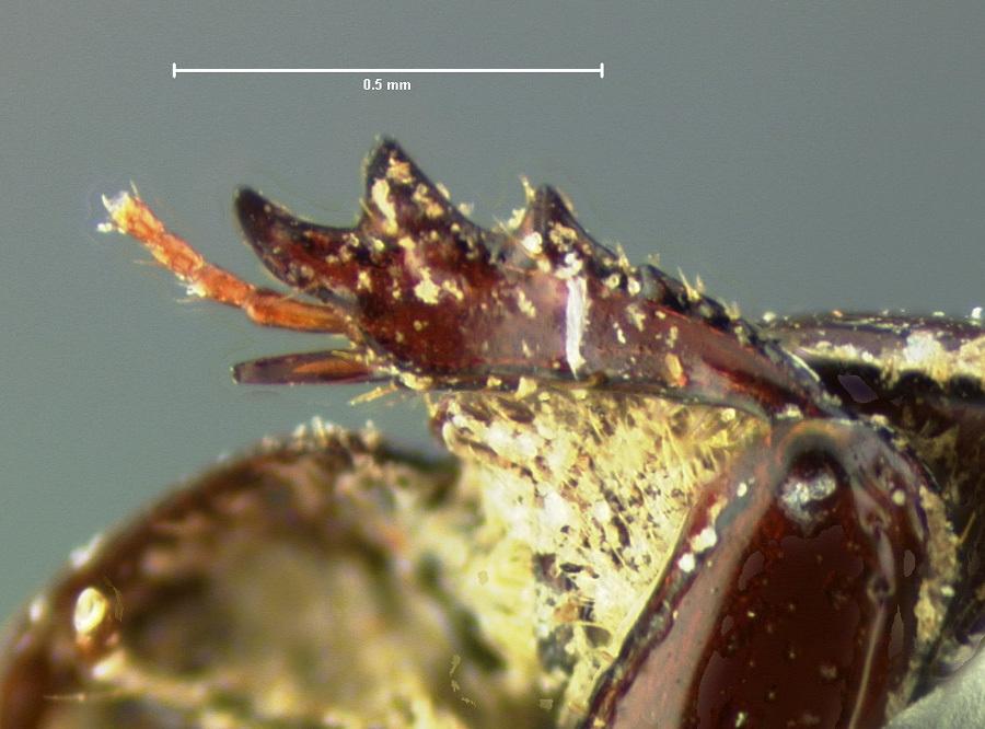Image of <i>Ataenius californicus</i> Horn 1887