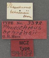 Image of <i>Phaeochrous behrensii</i> Horn 1867