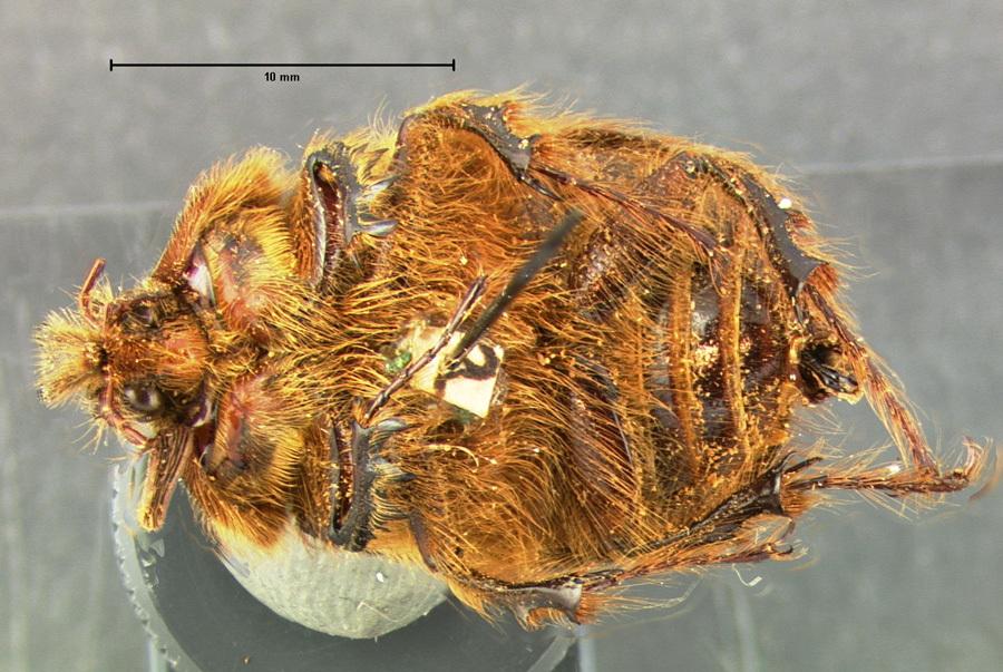 Image of <i>Pleocoma conjungens</i> Horn 1888