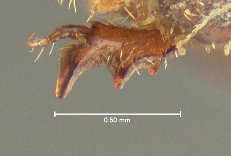 Image of <i>Glaresis inducta</i> Horn 1885