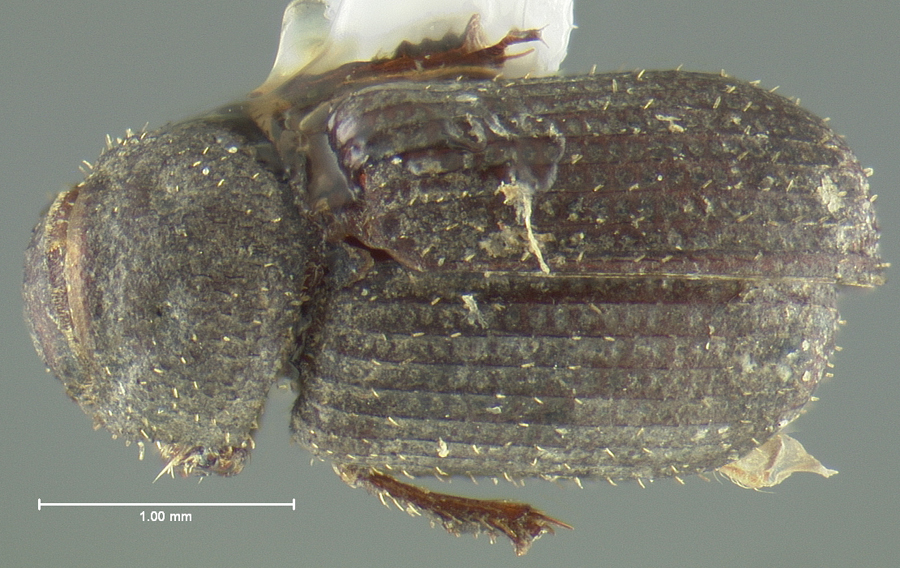 Image of <i>Glaresis mendica</i> Horn 1885