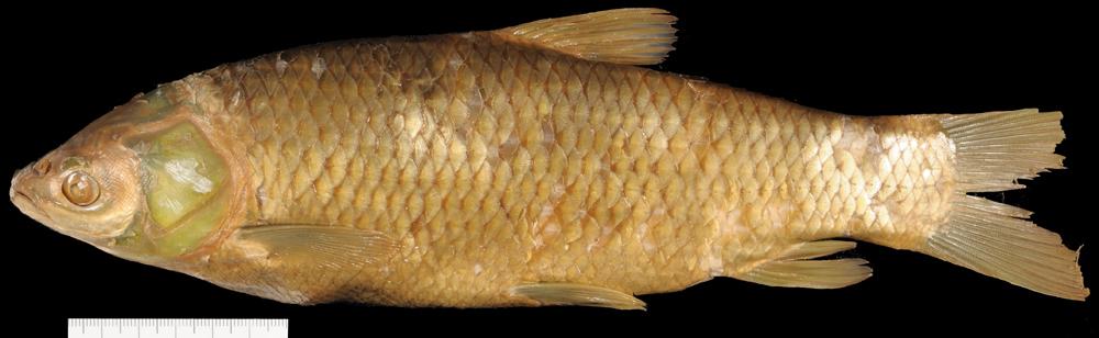 Image of Grass carp