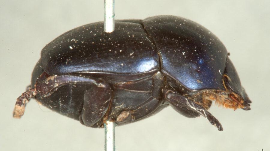 Image of <i><i>Canthon</i></i> (Canthon) <i>cyanellus</i> Le Conte 1859
