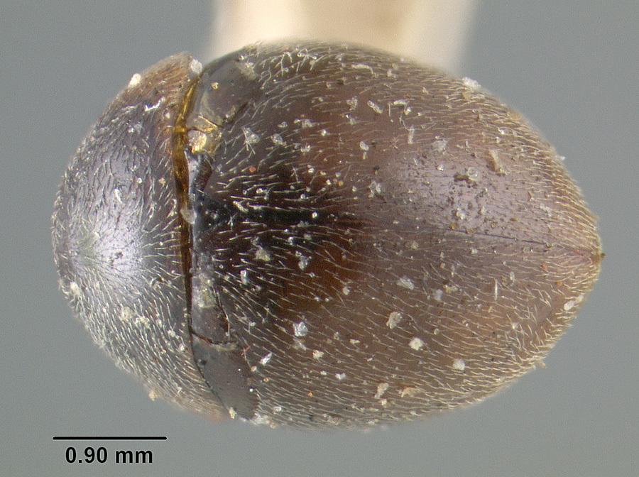 Image of <i>Clambus puberculus</i> LeConte 1863