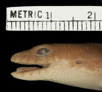 Image of Diving Skink