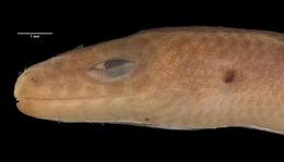 Image of Loveridge's Writhing Skink