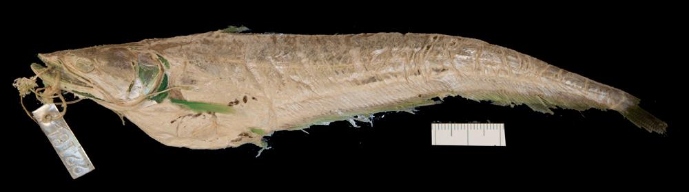 Image of Great white sheatfish
