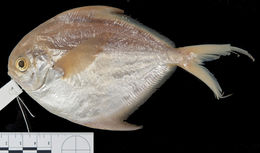 Image of Cortez butterfish