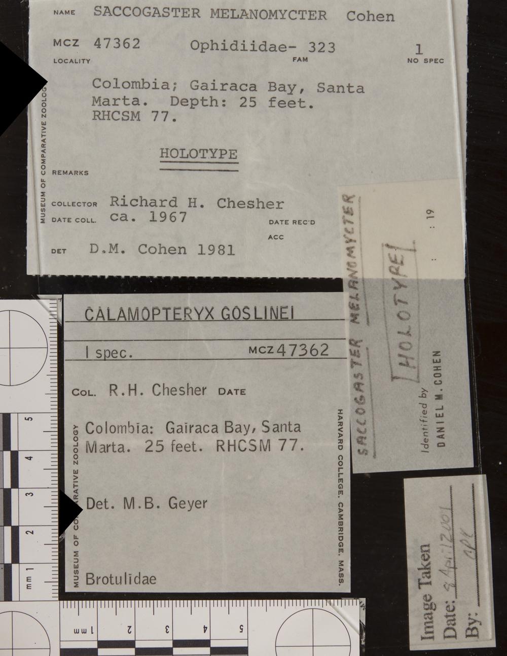 Image of <i>Saccogaster melanomycter</i> Cohen 1981