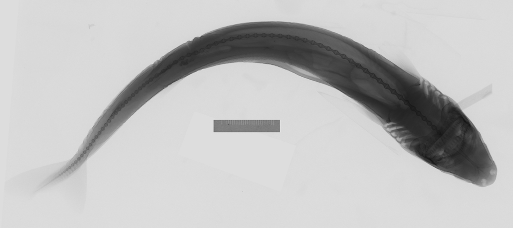 Image of Cookie-cutter Shark