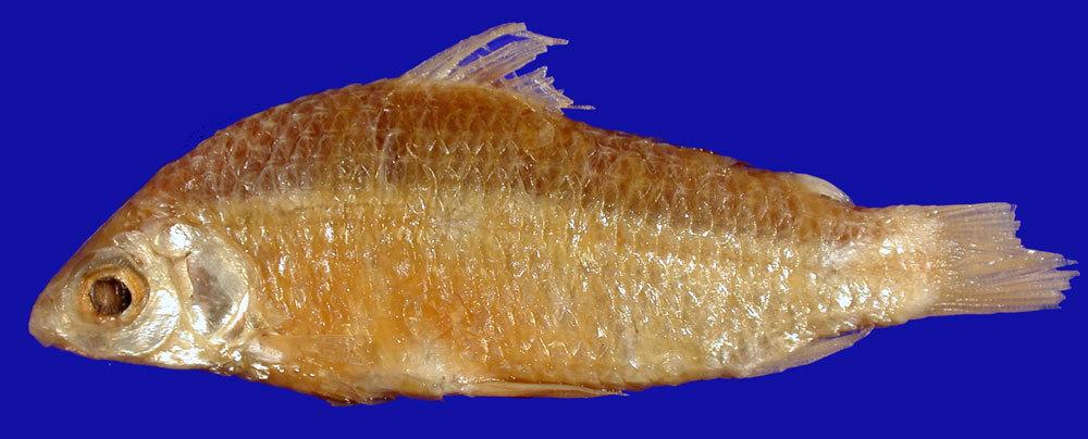 Image of <i>Curimatus elegans bahiensis</i>