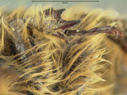 Image of <i>Euphoria hirtipes</i> Horn 1880