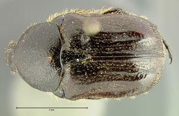 Image of <i>Euphoria devulsa</i> Horn 1880