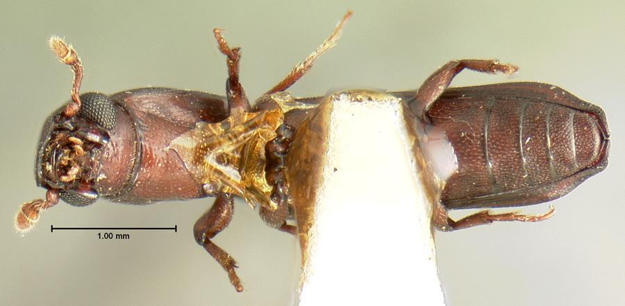 Image of <i>Sosylus dentiger</i> Horn 1878