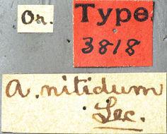 Image of <i>Asemum nitidum</i> Le Conte 1873