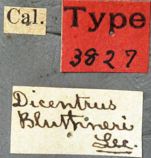 Image of <i>Dicentrus bluthneri</i> Le Conte 1880