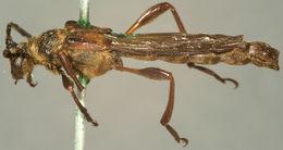 Image of <i>Necydalis cavipennis</i> Le Conte 1873