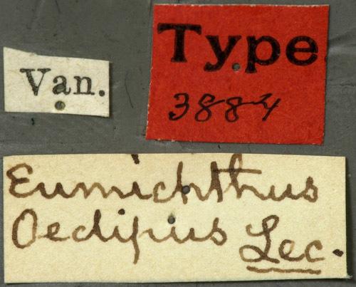 Image of <i>Eumichthus oedipus</i> Le Conte 1873
