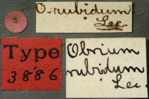Image of <i>Obrium rubidum</i> Le Conte 1850