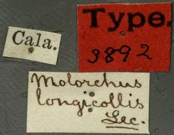 Image of <i>Molorchus longicollis</i> Le Conte 1873