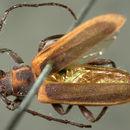 Image of <i>Holopleura marginata</i> Le Conte 1873