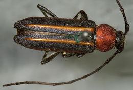 Image of <i>Mannophorus laetus</i> Le Conte 1854