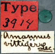 Image of <i>Amannus vittiger</i> Le Conte 1858