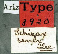 Image of <i>Schizax senex</i> Le Conte 1873