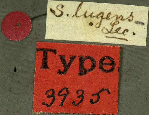 Image of <i>Stenosphenus lugens</i> Le Conte 1862